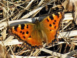 The Large Tortoiseshell. Picture source: Wikipedia