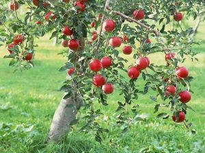 fruit_apple_apple-tree_wallpaper_apple_10