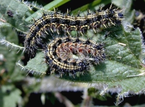 Small Tortoiseshell caterpillars - coming to a classroom near you?